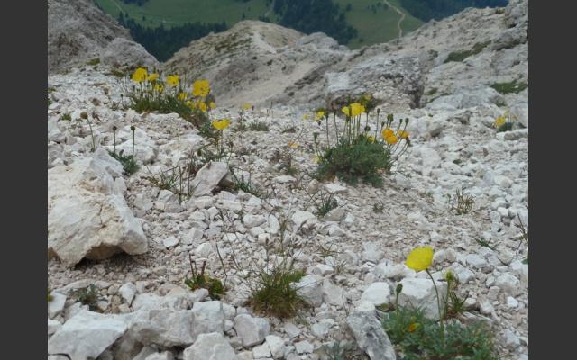 Rhätischer Alpenmohn