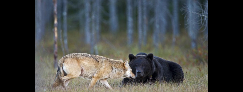 lupo orso