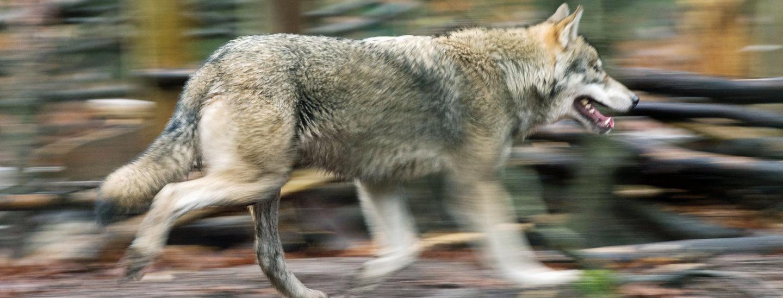 ein-wolf-rennt.jpg