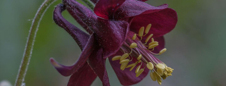 Schwarzviolete Akelei