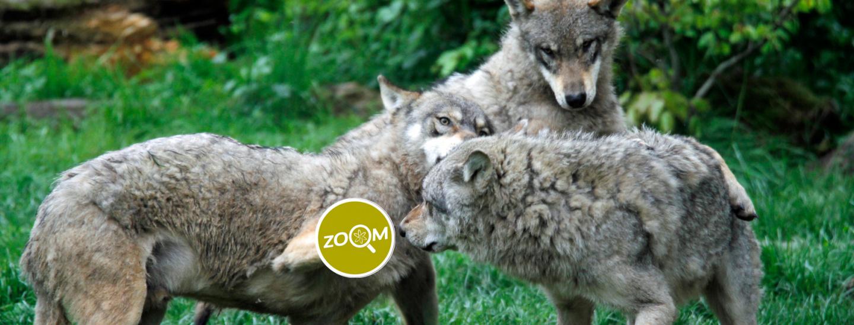 Zoom 10 - Wolf Interaktion