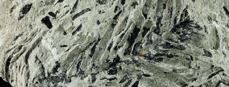 Quadrocladus – Zweig aus der Blätterbachschlucht
