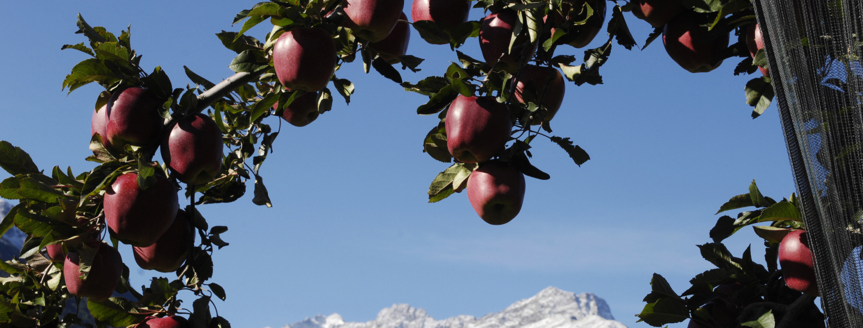 Laaser Apfelbaum