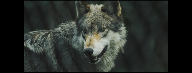 wolf-pano-c-michael-larosa-unsplash-1080x540.jpg