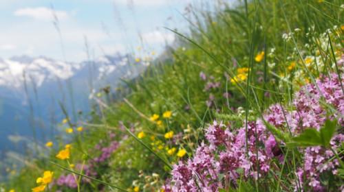 Bunte Alpenblumen auf den Bergweiden