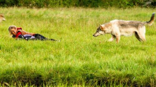 Wolf und Mensch