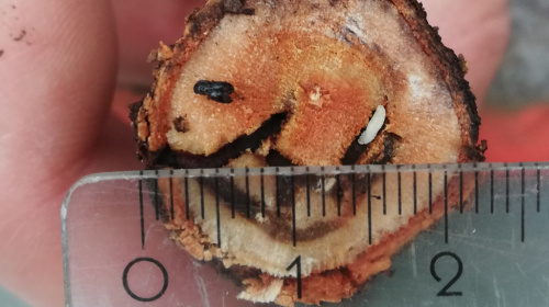 infestazione dello scolitide Euwallacea fornicatus