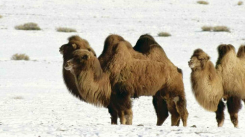 camel.snow_.jpg