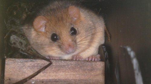 Small Mammals - Haselmaus vor dem Winterschlaf