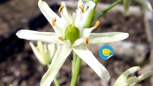 Loncomelos visianicum