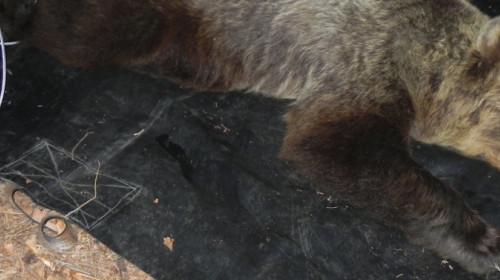 orsa catturata in Trentino