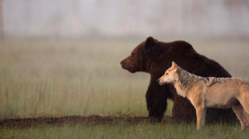 rare-animal-friendship-gray-wolf-brown-bear-lassi-rautiainen-finland-91.jpg