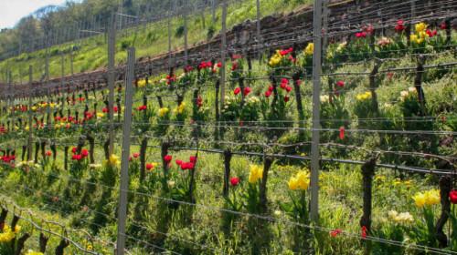 vigne fiori Eurac Research