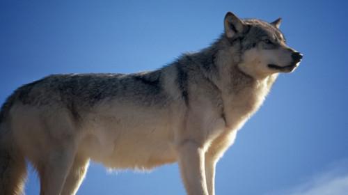wolf-142173_960_720.jpg