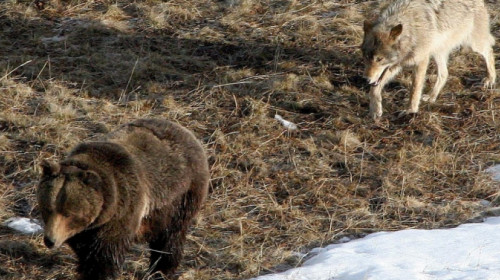 Bär und Wolf