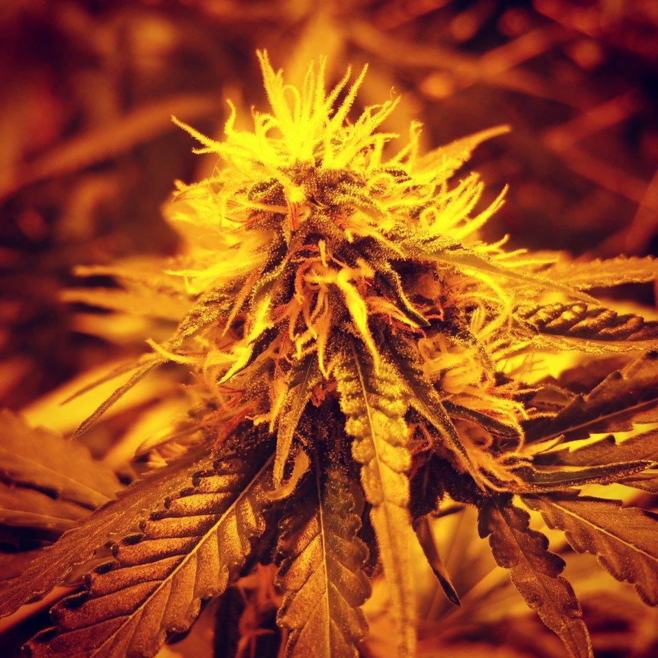 Die Blüte der Cannabis-Pflanze