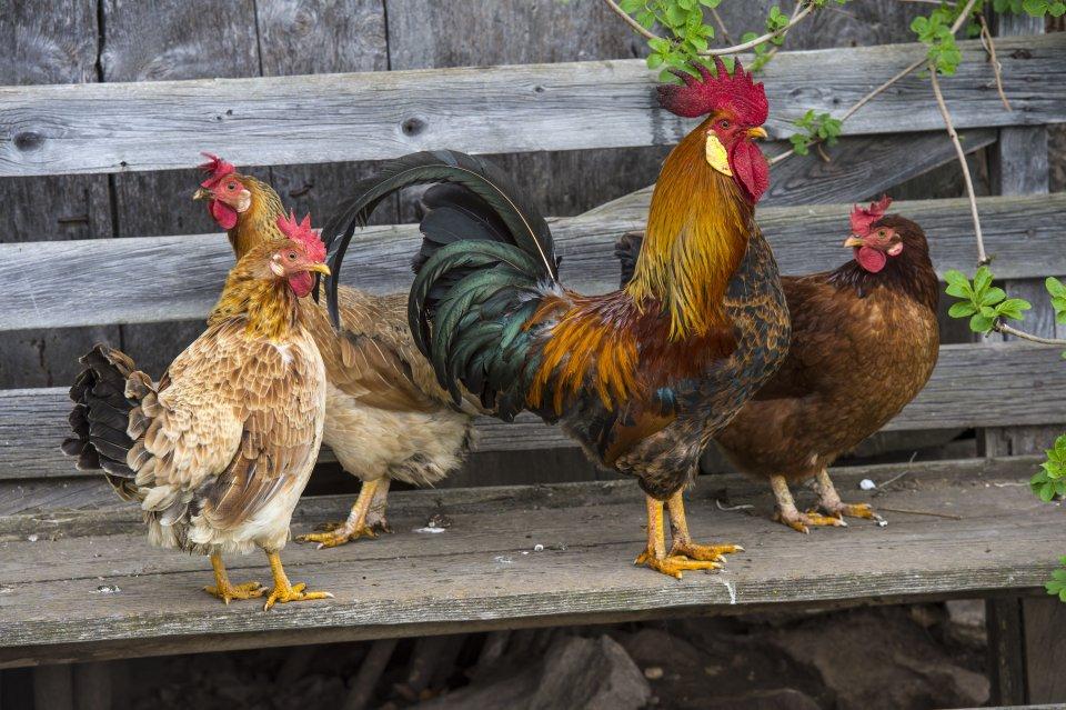 Hahn mit Hennen