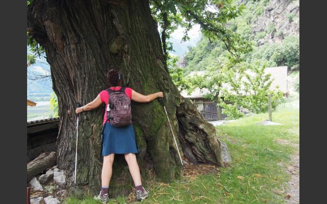 02_Mächtiger Kastanenbaum beim Happichlhof