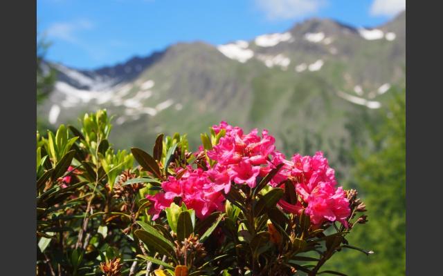 Alpenrosen vor Alpenpanorama