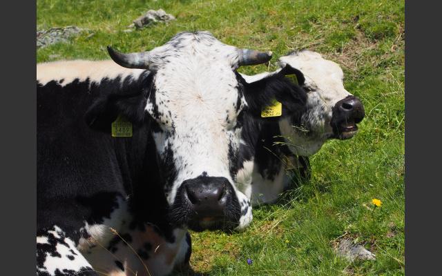 Die Pusterer Sprinzen, eine alte lokale Rinderrasse
