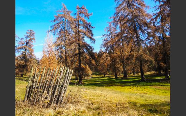 Mittlerweile Seltenheitswert: nicht gestutzte Lärchen und ein Jungbaum, vor Fressfeinden geschützt
