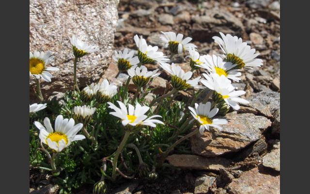 Alpenmargerite, Leucanthemopsis alpina