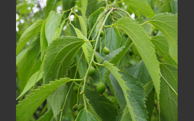 Der Zürgelbaum setzt schon Früchte an