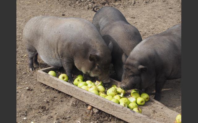 Fütterung der Hängebauchschweine