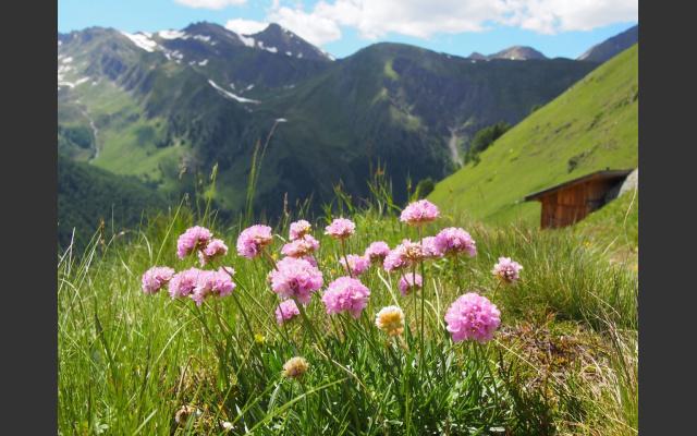 Alpen-Grasnelke Armeria alpina