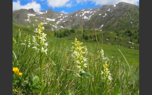 Waldhyazinthe Platanthera bifolia