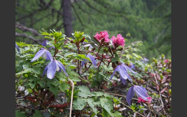 Alpenwaldrebe und Alpenrosen