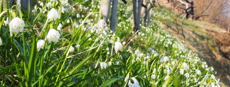 05_fruhlingsknotenblumen_unter_obstbaumen_bei_buchholz.jpg