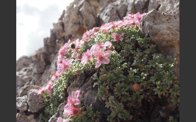 03-Am Weg das Dolomitenfingerkraut